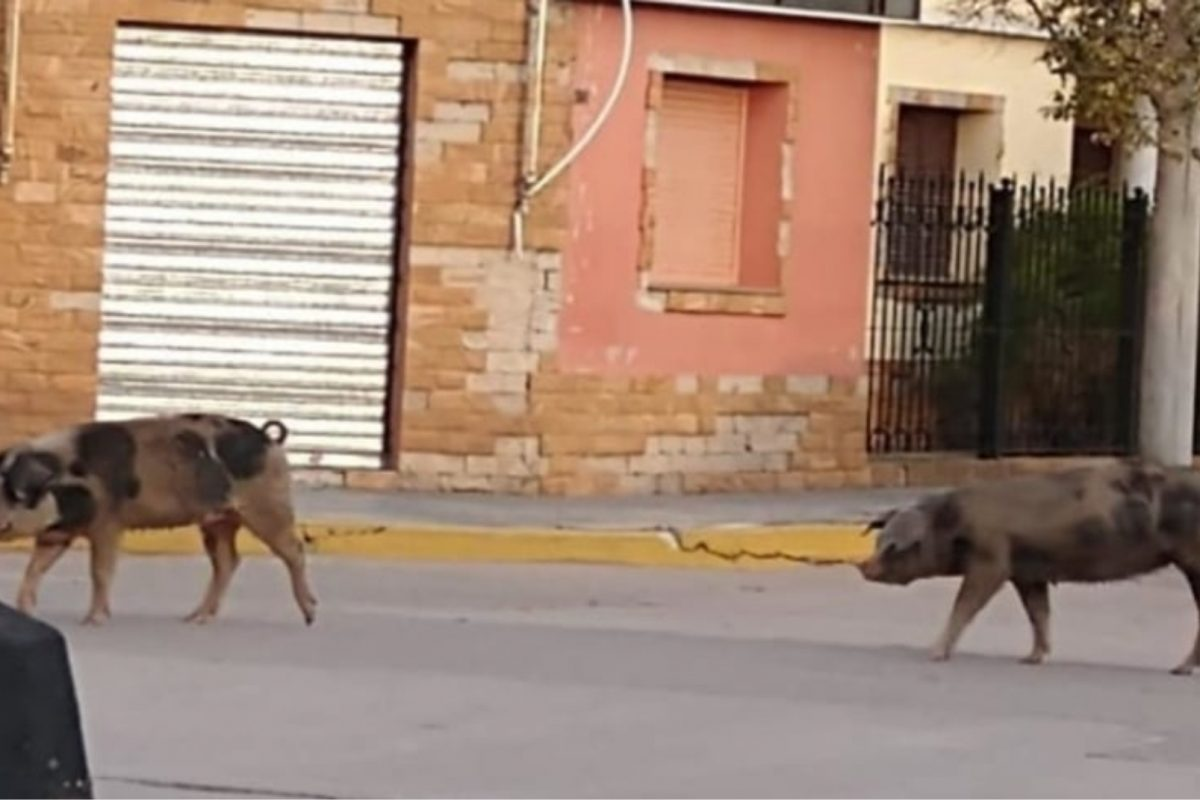 Insólito: porcinos sorprendieron a vecinos en calle céntrica de Del Campillo