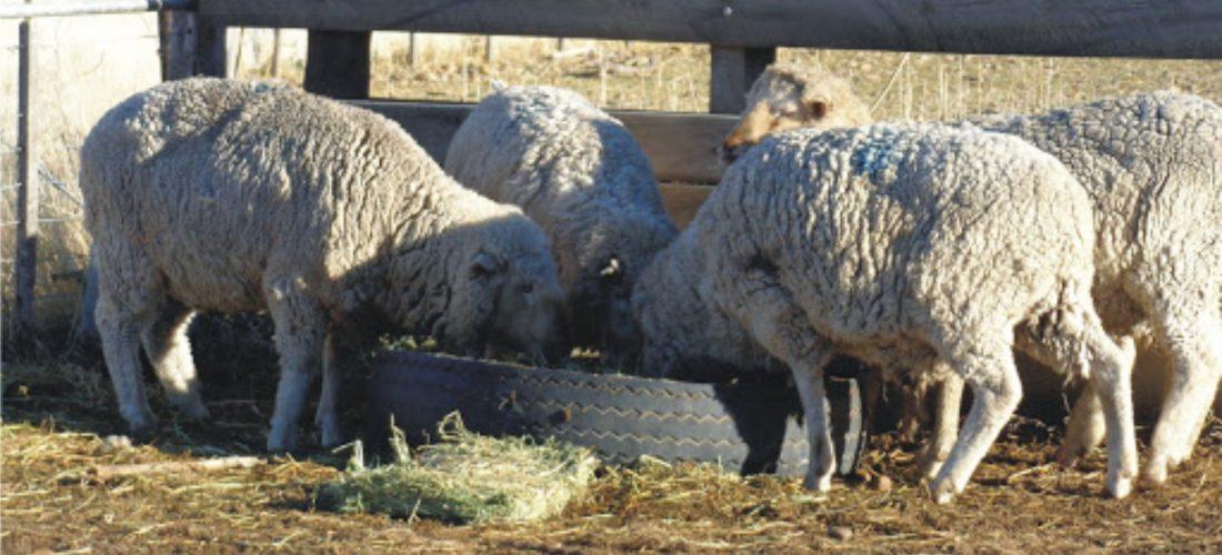 Laboulaye: mujer denunció que le robaron una oveja y cinco corderos