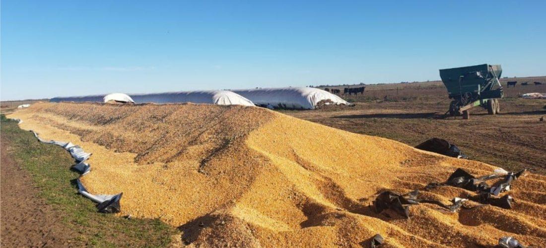 Otra vez, rotura de silo bolsa en la región: ahora fue en un campo cerca de Italó
